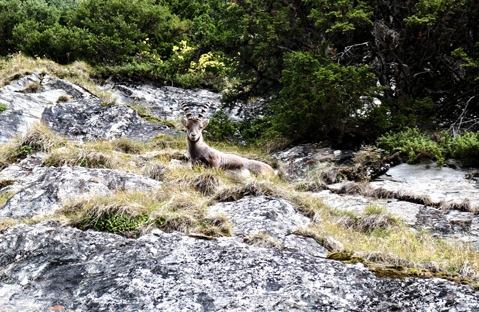 Ibex Switzerland Verbier Swiss Alps